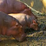 Зоопарк Малакки: грустные носороги и пятки дикобраза