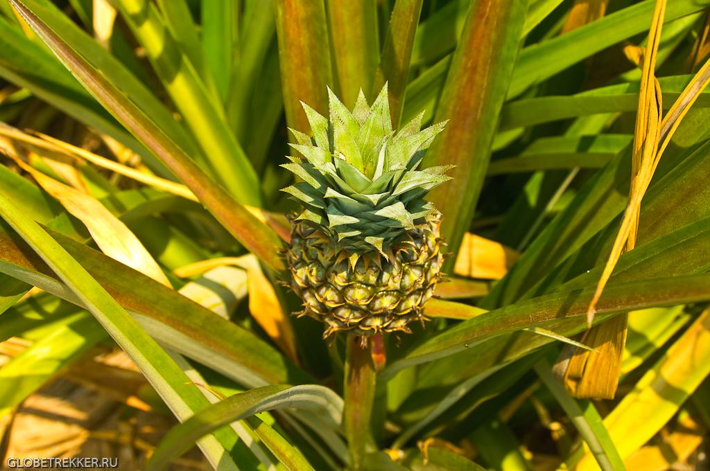 Как растут ананасы-4171