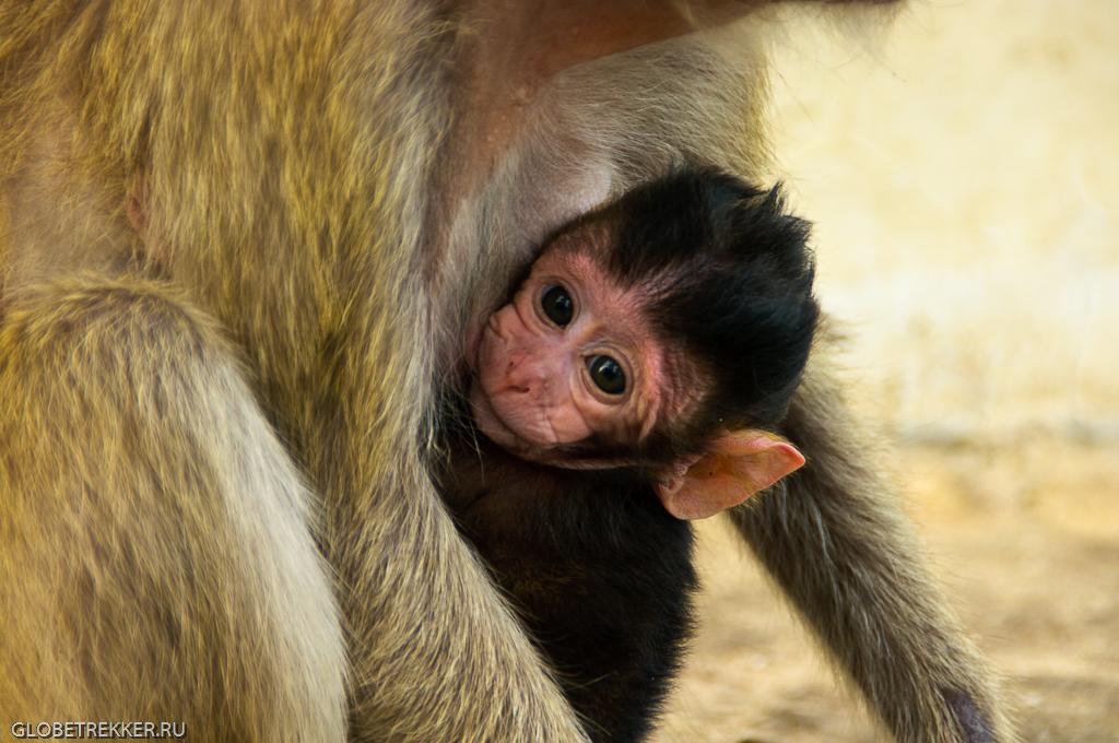 Гора Такиаб, где много-много диких обезьян 19