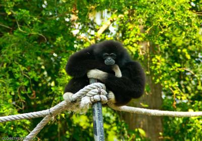 Хуахинский зоопарк: в гости к гиббонам 11
