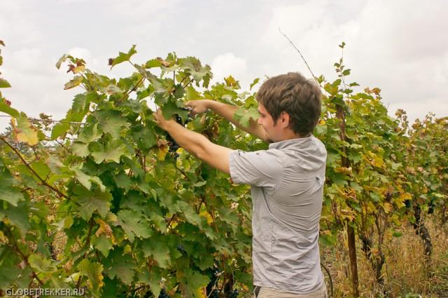Ртвели   праздник сбора винограда