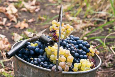 Ртвели - праздник сбора винограда 6